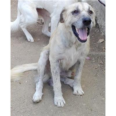 SAN SPERATE - Cane - Microchip 380260043395639