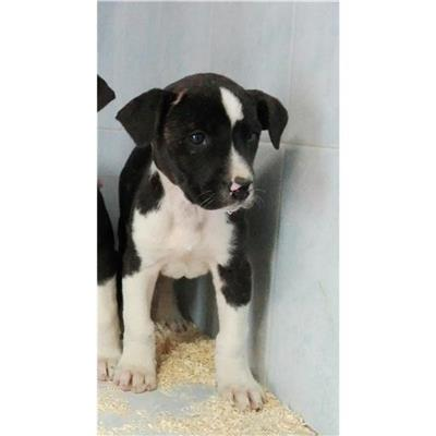 SAN SPERATE - Cane - Microchip 380260043473797