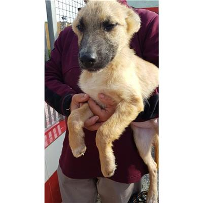 SAN SPERATE - Cane - Microchip 380260043394529