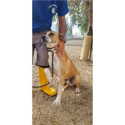 SAN SPERATE - Cane - Microchip 380260044266159